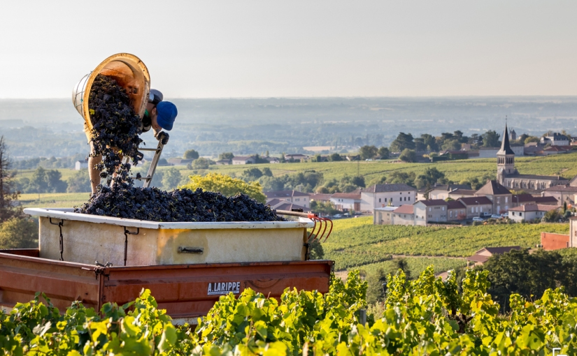 The future is bright for Beaujolais and itswines